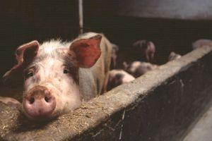 De ce tăiem porcul de Crăciun? Cum s-a păstrat obiceiul de la daci și romani?