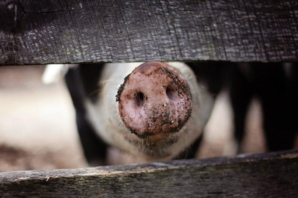 De ce taiem porcul