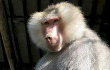 Ce este pavianul cu mantie, animalul făcut celebru de CTP?