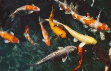 Peștii beau apă? Li se face peștilor vreodată sete?
