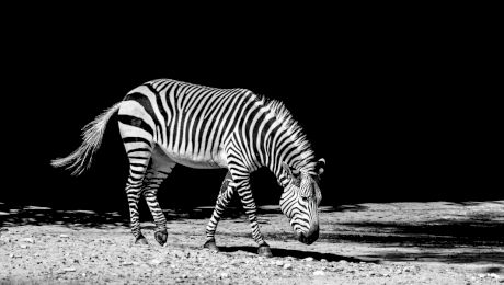 De ce zebra are dungi? Se pot domestici zebrele?