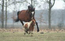 Care este diferența dintre cal și ponei?