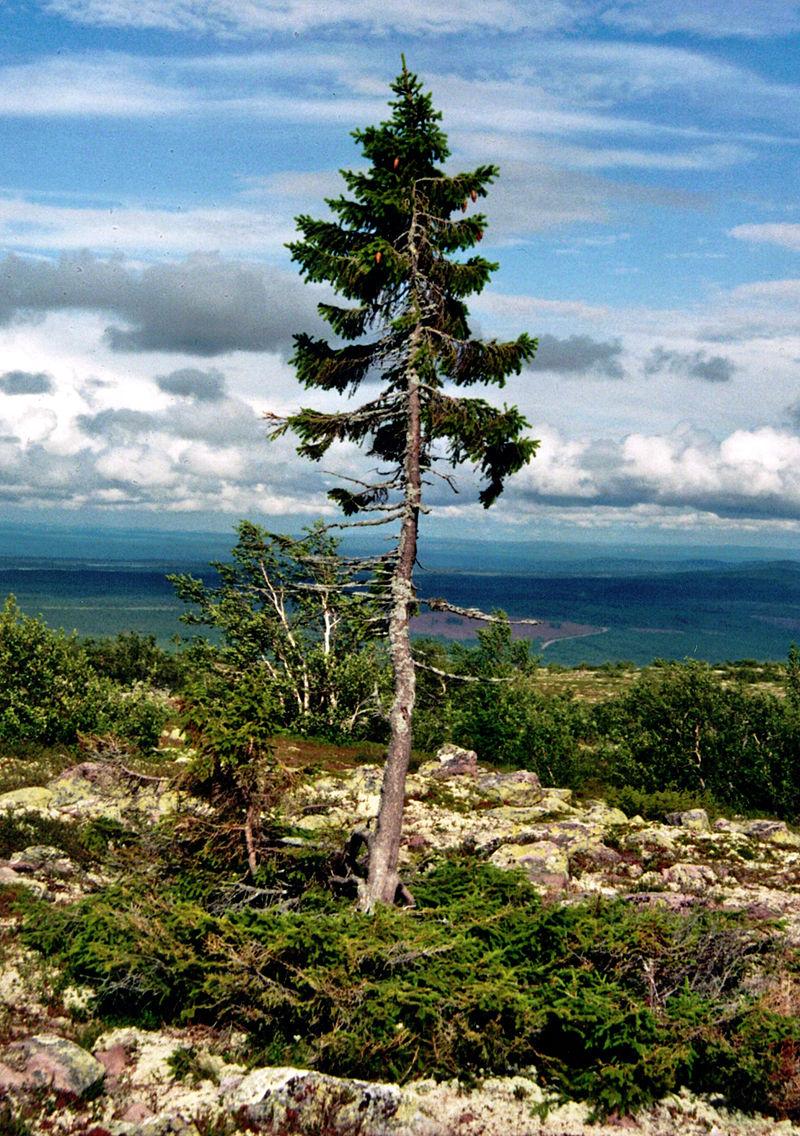 Cel mai bătrân copac