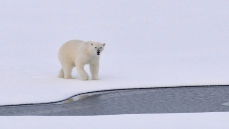 Este adevărat că urșii polari sunt stângaci?