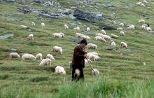 """De unde provine celebra expresie """"Să revenim la oile noastre""""?"""