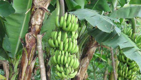 De ce sunt bananele curbate?