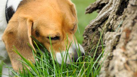 De ce câinii mănâncă iarbă?