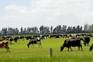 De ce toate vacile pasc întoarse în aceeași direcție?