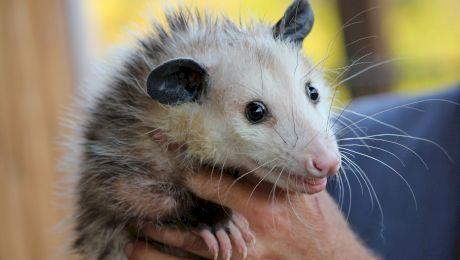 E adevărat că există un animal care leșină dacă este speriat?