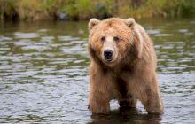 """E adevărat că dacă """"faci pe mortul"""" poți să păcălești ursul?"""