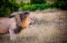 """De ce este greșit să spunem """"Leul, regele Junglei""""?"""