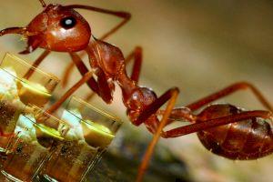 Ce fac furnicile care întâlnesc un camarad beat?