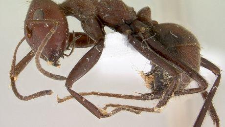 E adevărat că existe insecte care pot exploda la comandă?