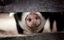 Este carnea de porc interzisă și în Biblie? De ce nu mănâncă musulmanii carne de porc? Ce spune Coranul?
