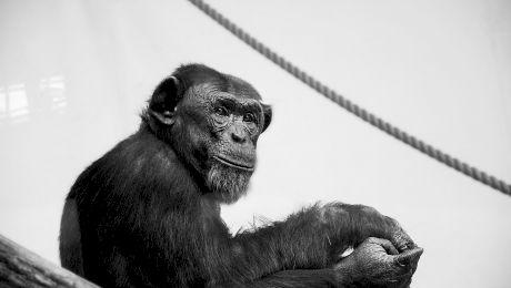 Cum se comportă cimpanzeii când moare un membru al grupului?