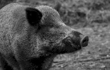 E adevărat că Statele Unite şi Marea Britanie au fost aproape de război din pricina unui porc?