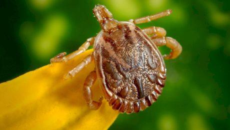Ce este boala Lyme? Care sunt simptomele și tratamentul bolii?