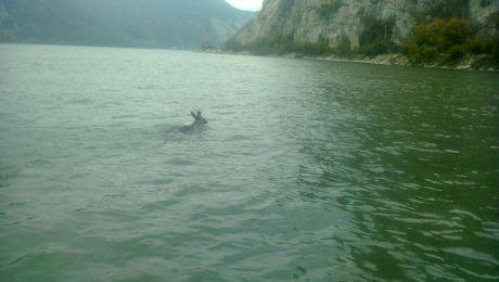 Cum a reușit un cerb să treacă înot Dunărea?