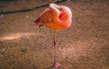 De ce stau păsările flamingo într-un picior?