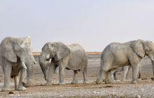 Elefanții beți fac ravagii în India. Ce băutură le place?