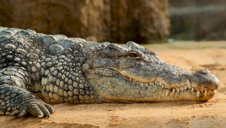 De ce înghit crocodilii pietre? La ce îi ajută?