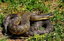 E adevărat că cel mai mare șarpe din Europa trăiește și în România?