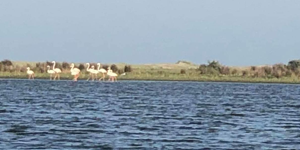 Sunt păsări flamingo în Delta Dunării?