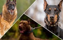 Care este singura rasă de câine care nu latră?