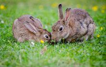 De ce au iepurii urechile lungi? La ce le folosesc?