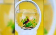 De ce fac peștii bule în acvariu?