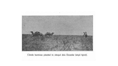 E adevărat că Dobrogea era plină de cămile? Fotografia care demonstrează asta!