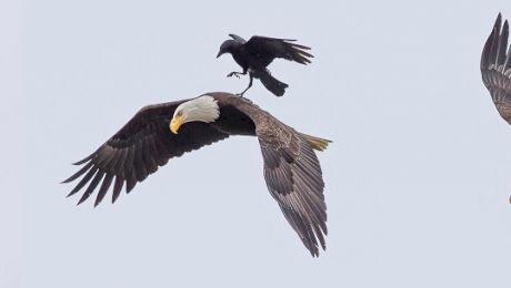 Cum se folosesc ciorile, cele mai istețe păsări, de vulturi? Cum se răzbună vulturii?