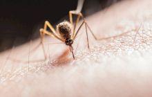 Este adevărat că țânțarii se îmbată dacă sug sânge cu alcool?