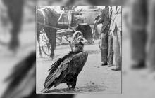 Care este povestea Vulturului Ilie, cel mai faimos vultur din Muntenia?