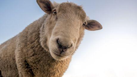 Cât de inteligente sunt oile? Este adevărat că oile se bat între ele?