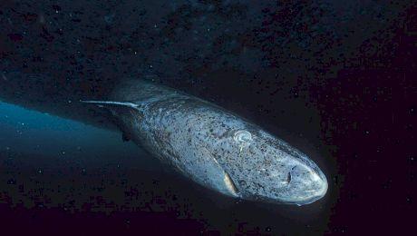 Este adevărat că rechinii din Groenlanda pot să mănânce balene?