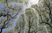 """Ce este """"coroana timidă"""", fenomenul prin care vârfurile copacilor evită să se atingă?"""