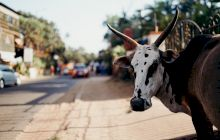 De ce este vaca sacră în India? Cum devastează aceste animale străzile?