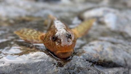 Care este cea mai rară specie de pește din Europa care a reapărut în România?