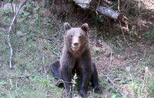 Cum arată bârlogul ursului carpatin? Video excepțional