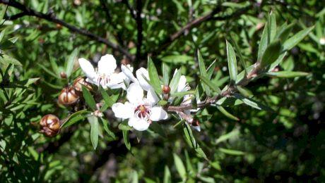 Ce este mierea de Manuka? De unde provine și ce beneficii are?