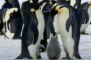 De ce la Polul Nord nu sunt pinguini? Unde trăiesc pinguinii?