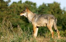 Este adevărat că lupul are un singur partener toată viața?