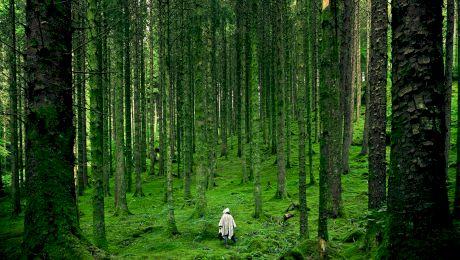 Care sunt cei mai longevivi copaci din lume? Unde pot fi văzuți aceștia?