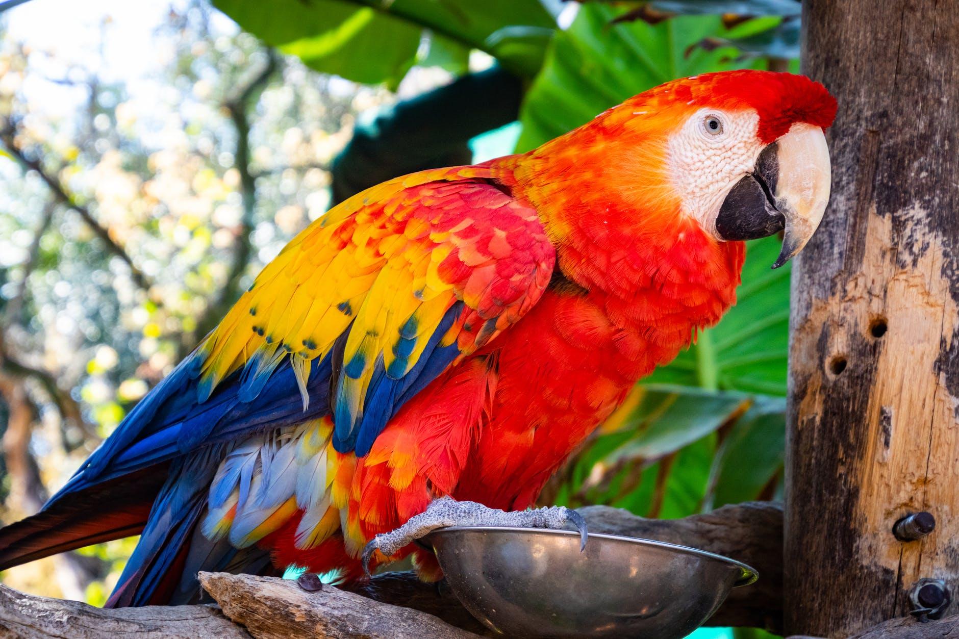 Care sunt speciile de papagali vorbitori? Cum arată