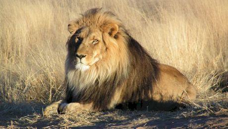 E adevărat ca leii sunt pe cale de dispariție? Cați lei mai sunt în sălbăticie?