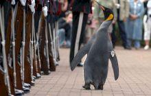 E adevărat că în Norvegia un pinguin a fost făcut cavaler? Ce avea special animalul?