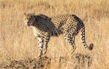 Este ghepardul cel mai rapid animal terestru din lume? Unde trăiește fiara?