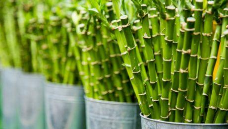 Cum arată o pădure de bambus? Un arbore crește și cu un metru pe zi