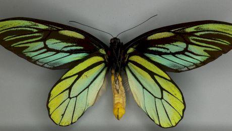 Care este cel mai mare fluture din lume? Ce mărime are?